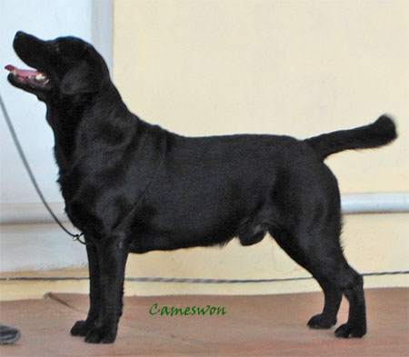 black labrador Ch Cameson Alright K.B. Oct 2010