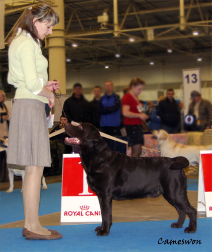 Labrador Ch Cameswon Comedy Club Best Labrador dog at CACIB dog show 16-04-11