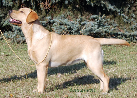 labrador Cameswon Dynasty Of Winners