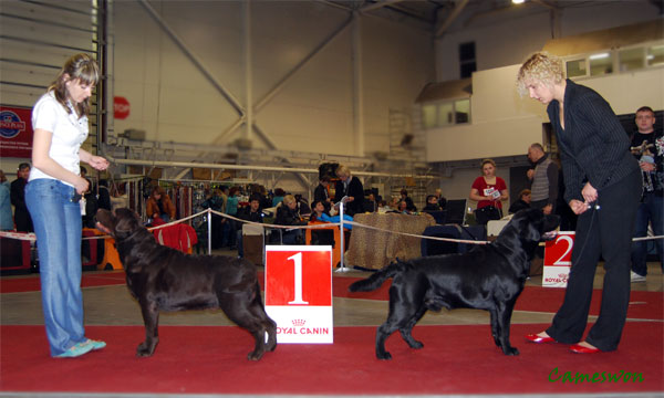 Labradors Ch Cameson Comedy Club (CACIB) and Ch Cameswon Alright KB (RCACIB) at CACIB dog show in Kyiv 17-04-2011