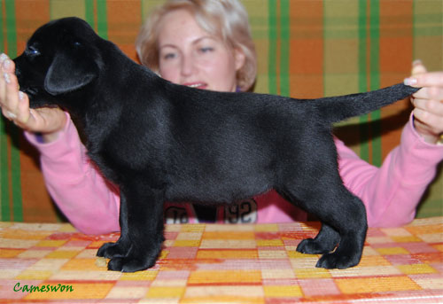Cameswon Bright Bulby. Black labrador puppy bitch 6 weeks old