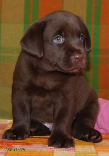 Cameswon Boston The Valse. Chocolate labrador puppy dog 6 weeks old