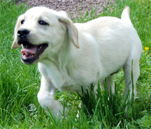 Labrador puppy - Cameswon Doing Fine
