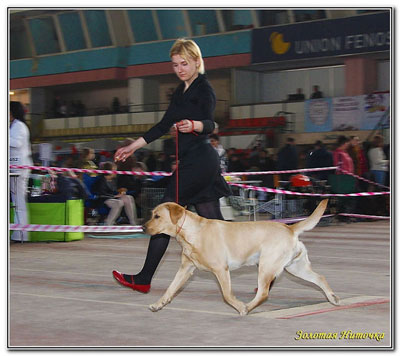 labrador Cameswon Dynasty Of Winners in Chisinau 2011