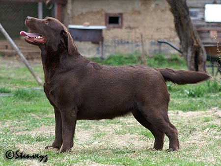 Cameswon Be Proud Of Me - chocolate labrador