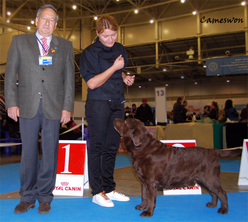 Labrador Int Ch Stenveyz Red October Best Veteran at CACIB dog show in Ukraine 16-04-2011